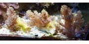 Meerwasseraquaristik - Keniabäumchen - Capnella imbricata