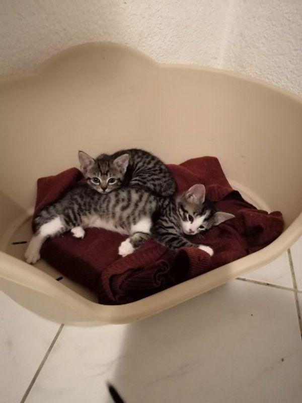 Süße Babykatzen zu verkaufen
