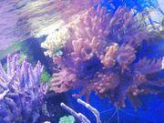 Meerwasser Sinularia Lederkoralle