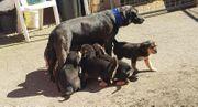Australian Shepherd Labrador welpen Aussiedor