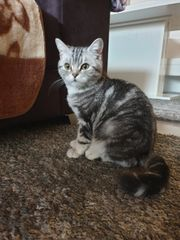 Reinrassige BKH kitten suchen neue