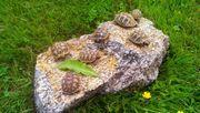 kleine maurische und griechische Landschildkröten