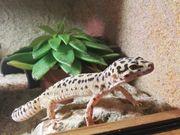 Leopardgeckos mit Terrarium