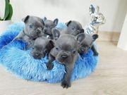 Französische Bulldogge Welpen Jetzt fertig
