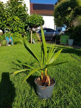 Pflanzen - Winterharte Palmen Washingtona robusta Nachzuchten
