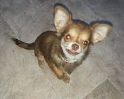 Chihuahua Hündin 7 Monate