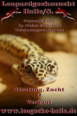Leopardgecko Mädels abzugeben