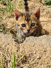 Bengal Kitten Freigänger