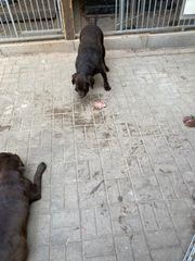 Labrador Hündin zu verkaufen