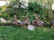 Enten Laufenten