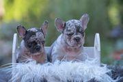 Wunderschöne Seltenheit Französische Bulldogge Welpen