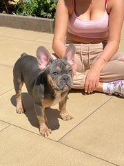 Franzosische Bulldogge wellpe Blu and