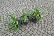 Agapanthus Schmucklilie Jungpflanzen kleinblütig blau