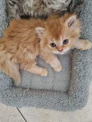 Katzenbaby- Junge