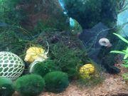 Asiatische Schnecken fürs Aquarium sehr