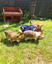Bestes Zuhause gesucht Chihuahua Welpen