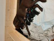 Zuckersüße Reinrassige Labrador Welpen in