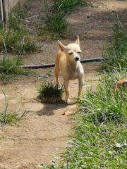 2 Chihuahua Hündin und Rüde