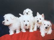 West Highland Terrierie Westie Welpen