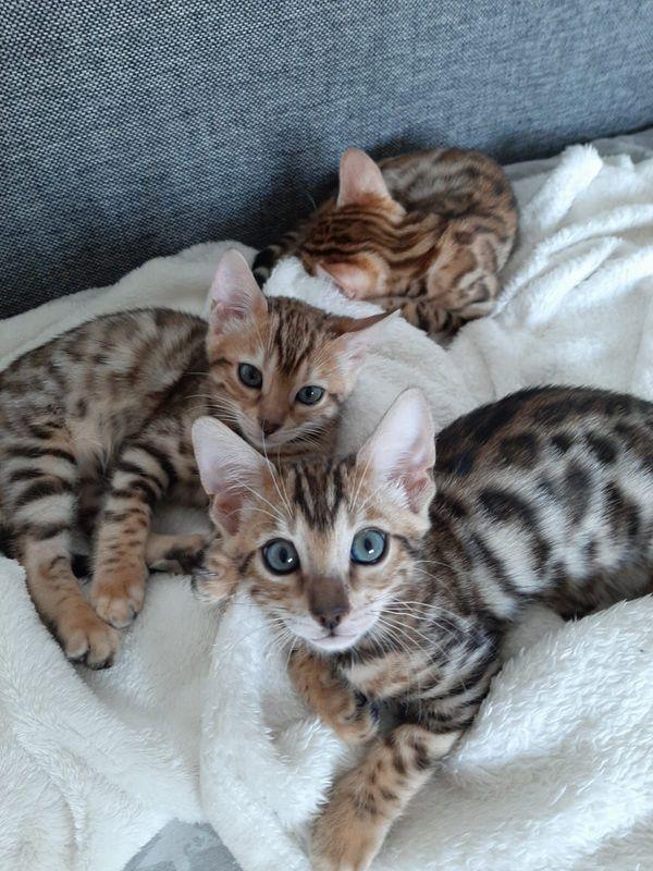 Wunderschöne Bengal-Kitten liebenswert für besondere