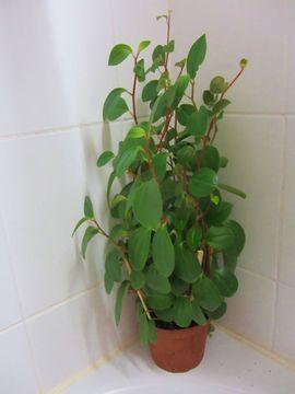 Zimmerpflanze Philodendron Strahlenaralie Efeutute Begonie: Kleinanzeigen aus München Schwabing-West - Rubrik Pflanzen