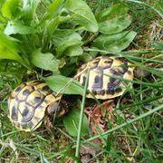 Grieschiche Landdschildkröten THB von 2018