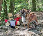 Champion Deckrüde Kurzhaar Chihuahua Zuchtzulassung