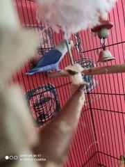 Ich verkaufe ein unzertrennlichen Vogel
