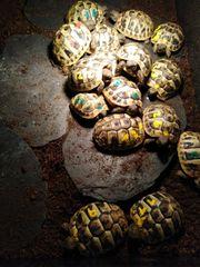 Griechische Landschildkröten THB Mit EU-