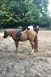 New Forest Mix Pony