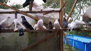 Tauben und weisse pfautauben
