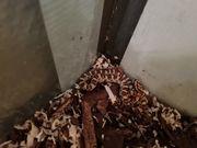Baby kornnatter