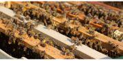 Bienenvolk Carnica Buckfast DNM