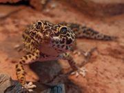 4 Leopardgeckos plus 160 cm