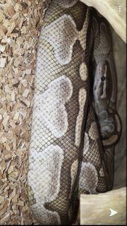Python regius Butter und eine