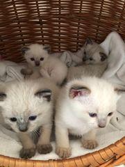 Kätzchen Kitten