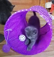 Karthäusermix Kitten Kätzchen Katzenbabys