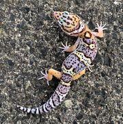 Leopardgecko Black Night x Super