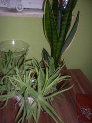 2 Stück Pflanzen Blumen Aloe