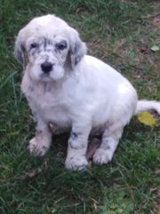 Reinrassige English Setter Welpen