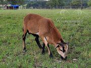 Kamerunschaf - Bock Lamm aus Reinzucht