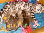 Bengal Kitten in tollen Snow