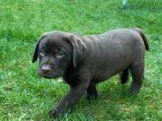 Labrador Welpen Showlinie abgabebereit
