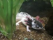 2 Axolotl Jungtiere zu verkaufen