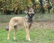BRUNO - 1 Jahr grauer Schäferhund-Mischling