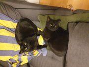 Zwei süße schwarze Katzen