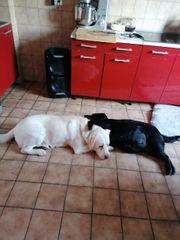 Labrador welpen Abholung ab 11
