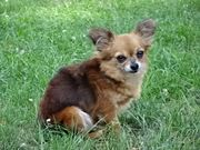 Chihuahua Hündin sucht Kuschelplatz