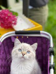 BKH Katze 4 Monate alt