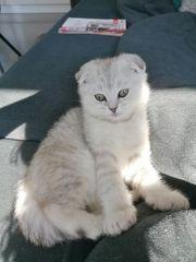 BKH- Scottish fold Kitten